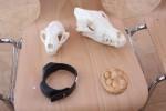 Schädel von Luchs (links) und Wolf mit Senderhalsband und Gipsabdruck einer Luchsfährte