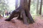 Hochwurzler, der auf einem Totholzbaum gewachsen ist. Im Laufe der Jahre ist das Totholz wieder zu Humus geworden.