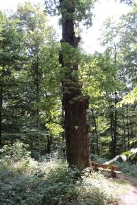 Naturdenkmal - eine alte Eiche