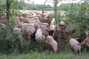 Schafe und Ziegen bei der Landschaftspflege